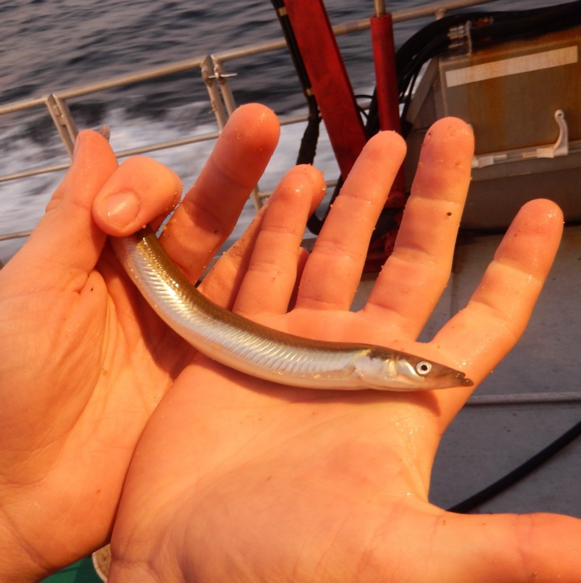 Sand lance caught on Stellwagen Bank in November 2014