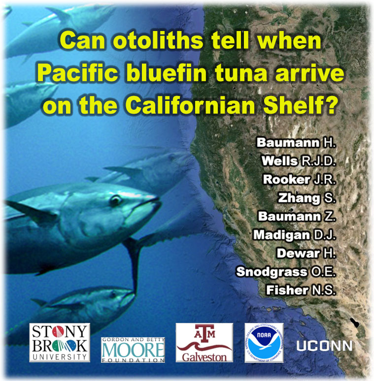 A new study published in the ICES Journal of Marine Science suggests that analyzing the trace elements incorporated into the otoliths of bluefin tuna may allow inferring the arrival of juvenile fish in the California Current Ecosystem