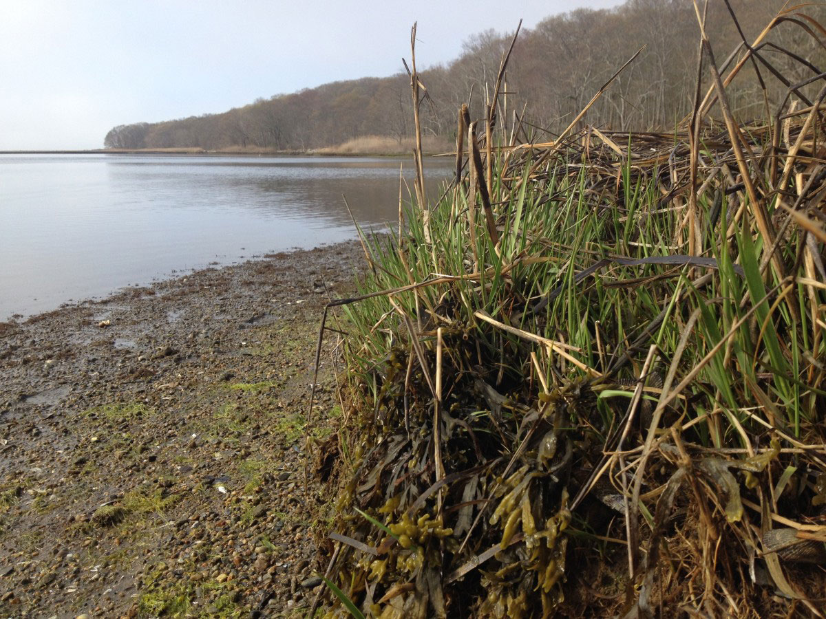 New Spartina shoots at Mumford Cove on May 8th 2015
