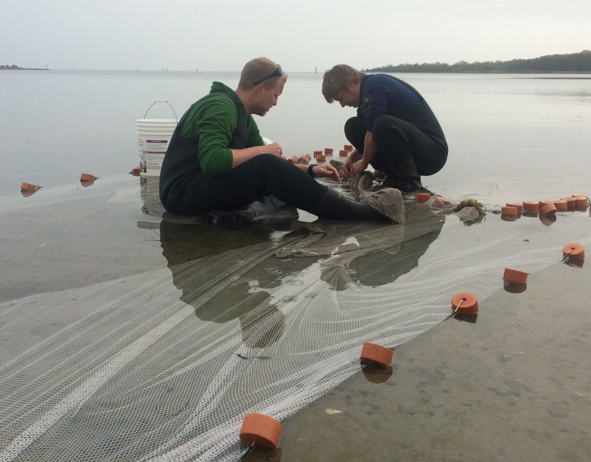 Sorting the catch of the beach seine, Mumford Cove 16 May 2015