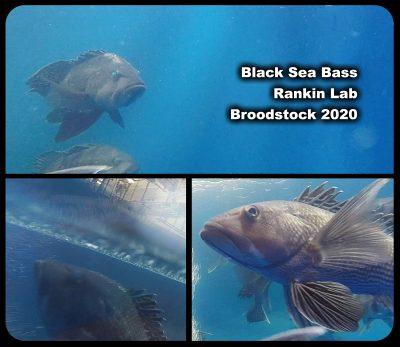 Black-Sea-Bass-broodstock2020